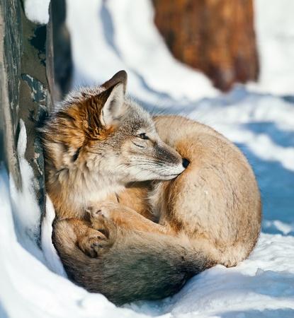 sotto l albero: carino corsac sdraiato sotto l'albero in zoo su una neve