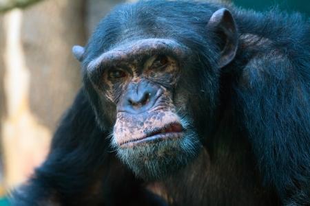 ape: The closeup of angry chimpanzee looking at camera