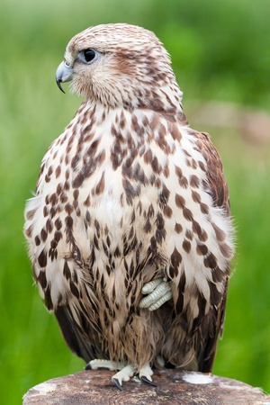 Portrait of a baby bird (Saker Falcon) of a bird on a tree.The feathery looks aside. Stock Photo - 9971503