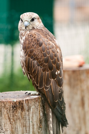 Baby bird of a falcon ( Falco cherrug) sitting on a tree. Looks in a lens Stock Photo - 9971498
