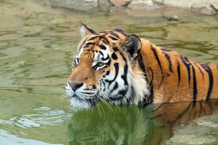 Head of the Amur tiger (Panthera tigris) in green water. The tiger attentively looks at something. photo
