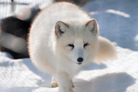 fox face: Zorro Polar (Alopex lagopus) va sobre la nieve hacia un objetivo. Busca en un lente