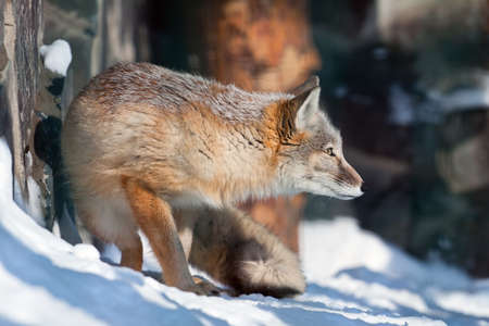 The Сorsac fox (Vulpes corsac) costs in the hunting pose. Looks it is concentrated in a distance. Stock Photo - 9971499