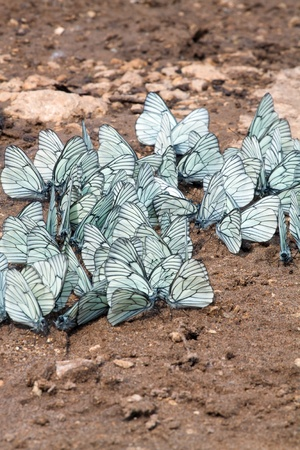considerable: A considerable quantity of butterflies with white wings. Stock Photo