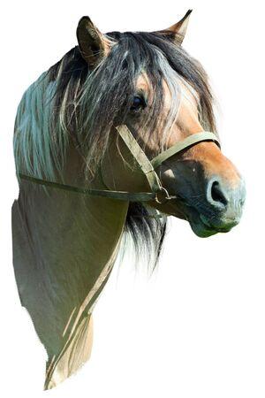 Wild horse with a dense mane on a white background. photo