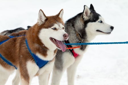 a pair of huskies against the background of snow photo