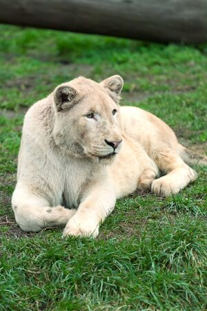 The white lion lies on a green grass Stock Photo
