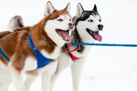 dog sled: black and red dog in harness