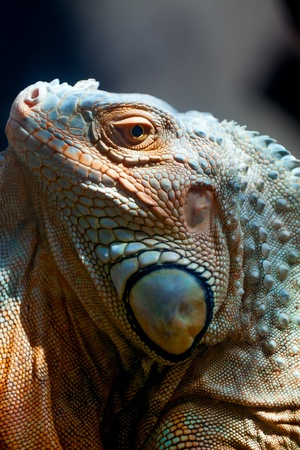 portrait  iguana against a dark background photo
