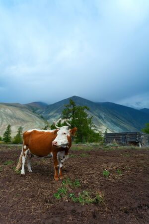 cow in mountains against the house and Mountains  Altai  photo