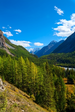 coniferous trees in mountains  Altai  photo