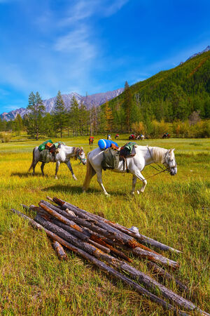 horses with saddles walk on a meadow surrounded with mountains photo