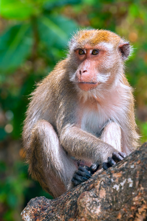 wild monkey (macaque) sitting on a tree photo