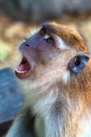 portrait of the yawning macaque, monkey showing teeth. photo