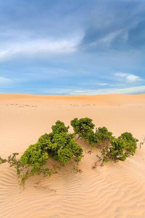 inhospitable: Desert sand and green flowering shrub tree. Stock Photo