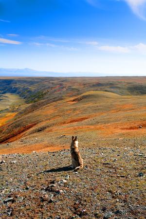 nomadism: Wild dog in the desert hills in autumn, Altai, Mongolia. Stock Photo