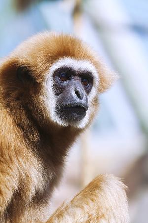 Portrait of White-handed gibbon(Hylobates lar)