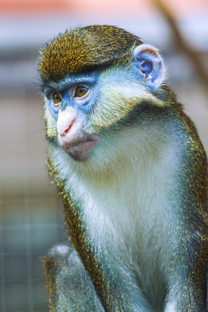 he: monkey portrait, Cercopithecus. He sits thoughtfully. Stock Photo