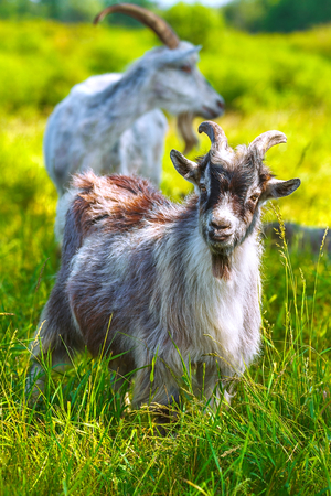 Young goat in the pasture with green grass. Stock Photo