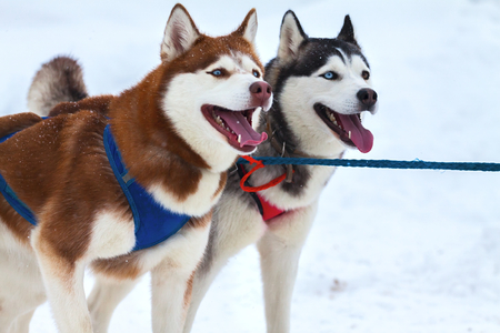 Two dogs with blue eyes Husky. Harnessed to sled sleigh