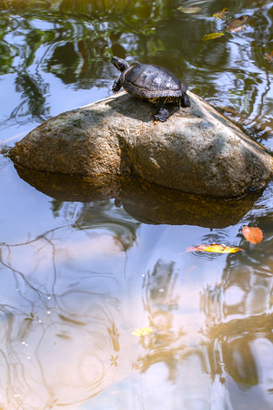 A lake with a turtle lying on the stone which basks in the sun. Stock Photo