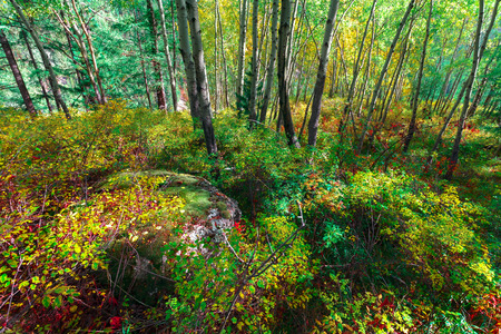dwarfish: The deciduous wood with green and yellow trees. High trunks and dwarfish birch. Stock Photo