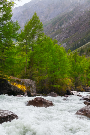 Mountain river and green coniferous trees. Altai, Russia.
