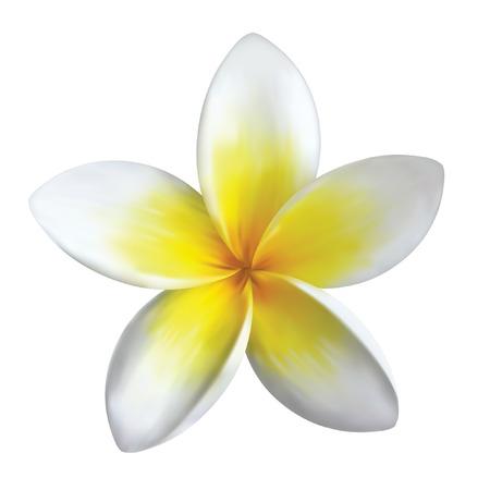폴리네시아: frangipani 꽃은 흰색에 고립