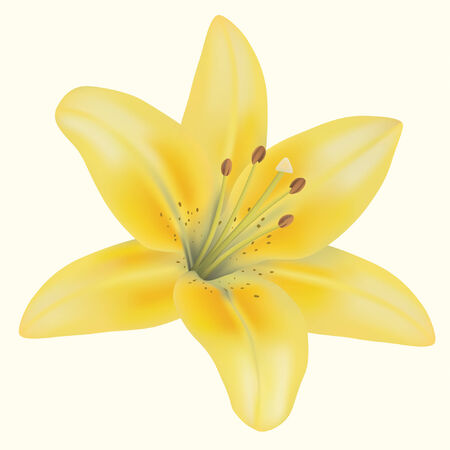 yellow lily on isolated background