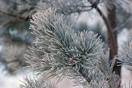 Snow on pine tree photo