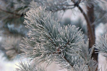 Snow on pine tree photo