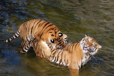 hacer el amor: Tigres hacen el amor en el agua