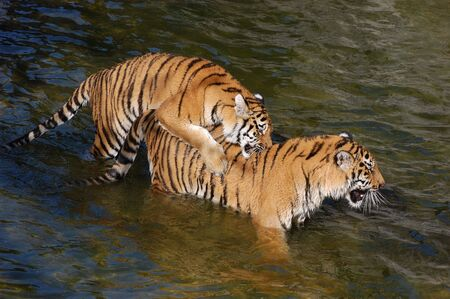 Tigers make love in the water  photo