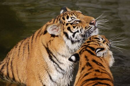tigers play in the water Stock Photo - 5421539