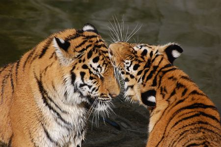 tigers play in the water  photo