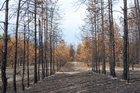 Dead forest.Near Chernobyl area.Kiev region,Ukraine  photo