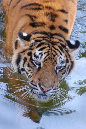 Tiger photo