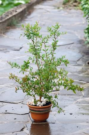 Pot plant under the rain (pomegranate) photo