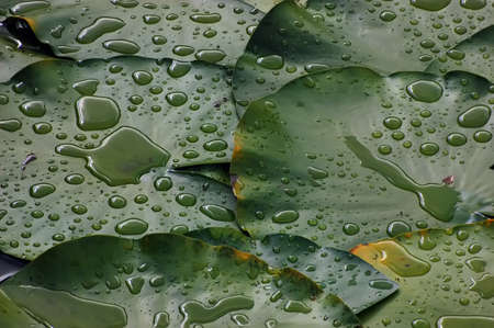 Water drops on the leaves of water lilies  photo