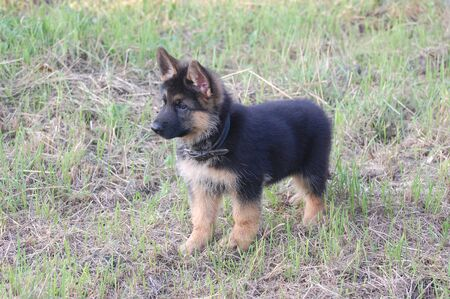 German Shepherd dog puppy photo