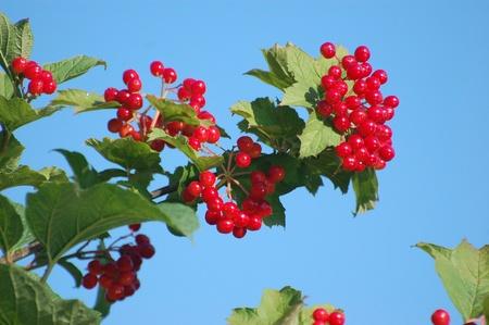 Red Viburnum berries  photo