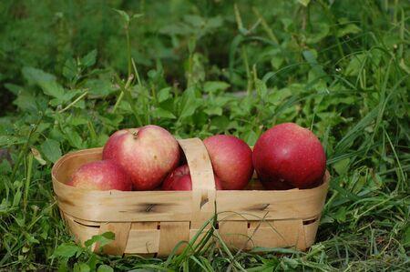 Harvest.Apples in the basket.Ukraine photo