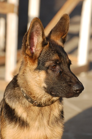 German Shepherd dog puppy , 4 month age photo