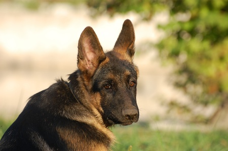 German Shepherd dog puppy , 4 month age Stock Photo - 10580201