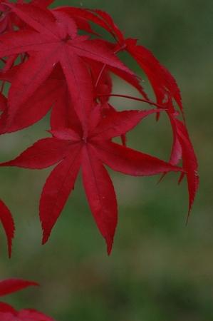 Japanese red maple (Acer japonicum). Ukraine photo