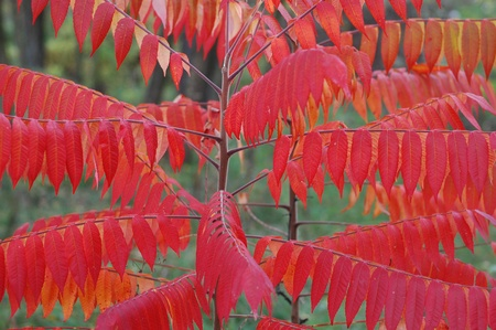 staghorn: Staghorn Sumac tree(Rhus Typhina) .Ukraine