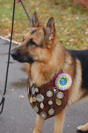 alsation: KIEV,UKRAINE-OCTOBER 15:An unidentified German Shepherd dog at the Kiev Regional exhibition of dogs , on October 15, 2011 in Kiev,Ukraine