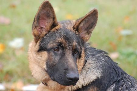 german shepherd puppy: My friend Zakhar Stock Photo