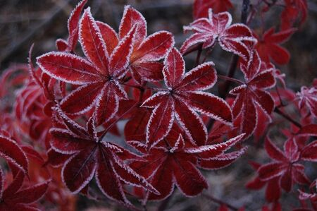 acer palmatum: Japanese red maple (Acer japonicum) at frost. Ukraine
