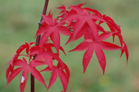 Japanese red maple (Acer japonicum). Ukraine photo